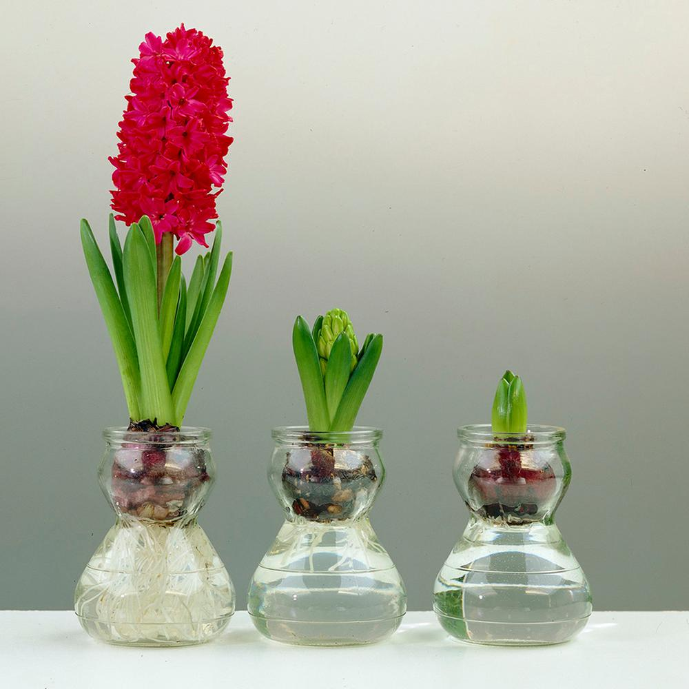 Van Zyverden Hyacinth Kitred Bulbs With Clear Artisan