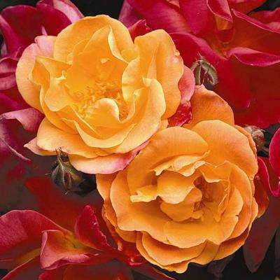 Joseph's Coat Climbing Rose, Live Bareroot Plant, Multi-Color Flowers (1-Pack)