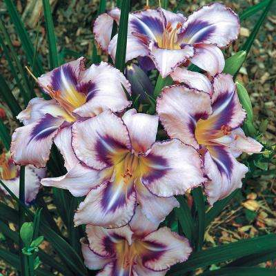 Lavender Flowers Destined to See Daylily (Hemerocallis) Live Bareroot Perennial Plant (1-Pack)