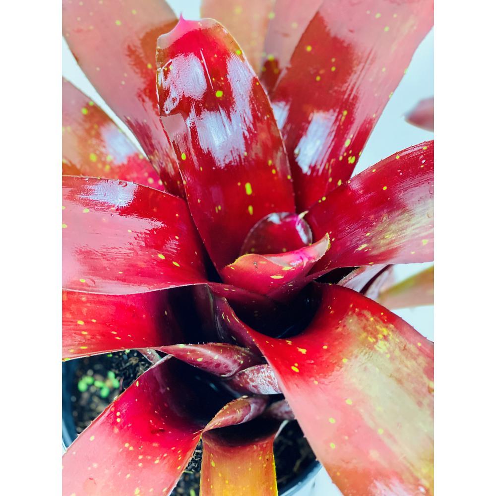 1.5 Qt. Bromeliad Neoregelia Plant Burgundy in 6 In. Grower's Pot