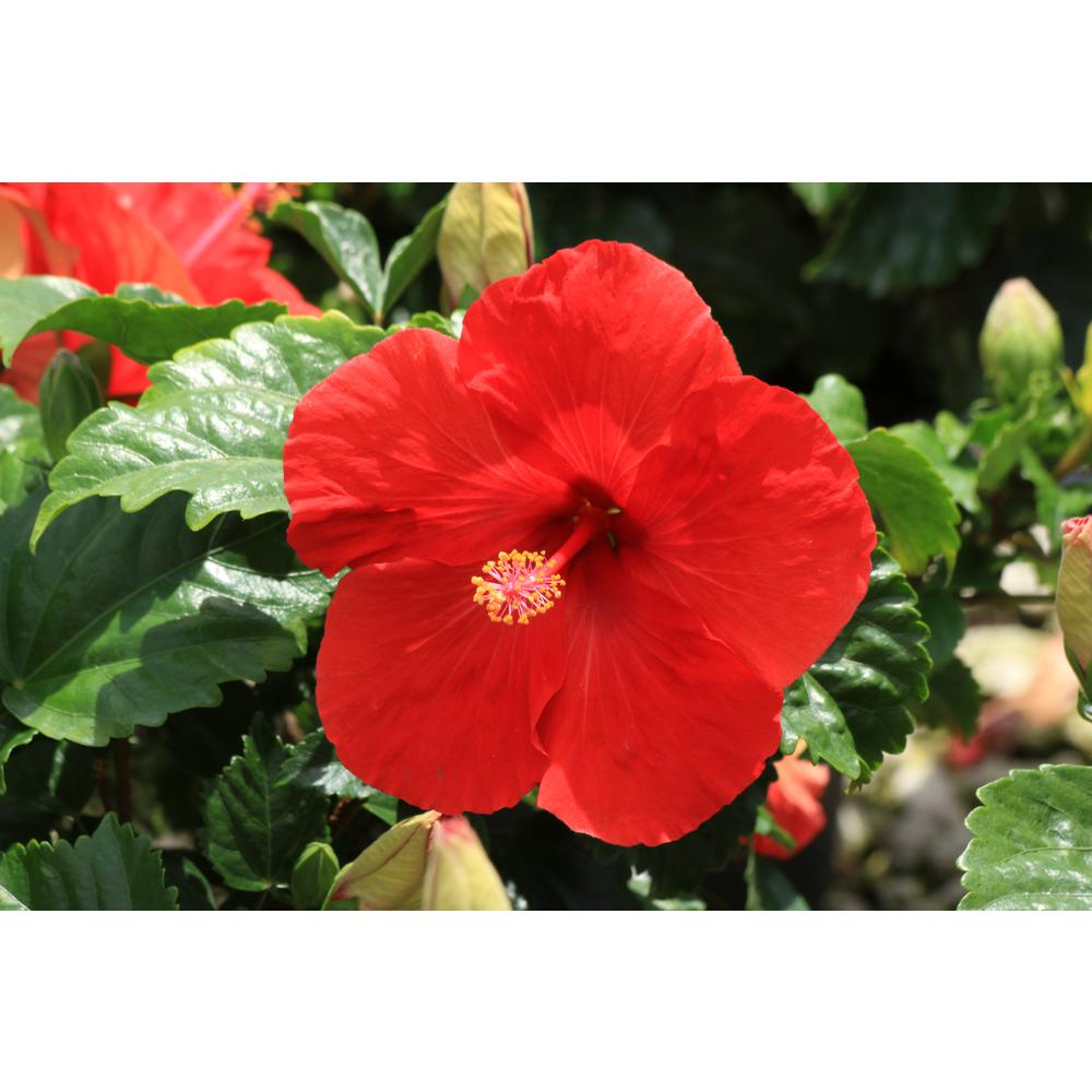 Costa Farms 3 Qt Red Hibiscus Tropical Live Outdoor Plant In Grower