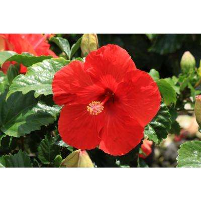 3 Qt. Red Hibiscus Tropical Live Outdoor Flowers in Grower Pot