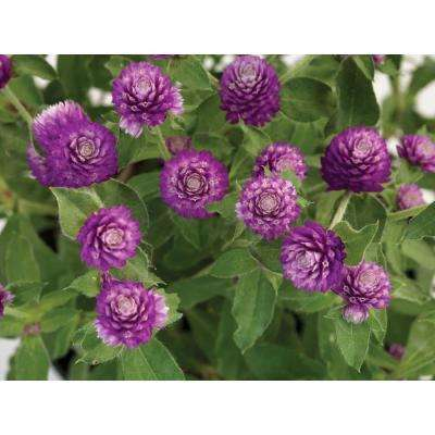 Lil' Forest Sugared Plum Bachelor Button (Gomphrena) Live Plant, Frosty Purple Flowers, 4.25 in. Grande, 4-pack