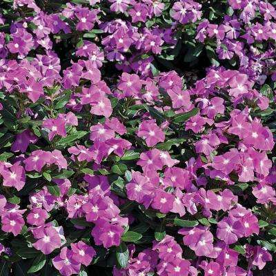 Cora Deep Lavender Vinca (Catharanthus) Live Plant, Light Purple Flowers with a White Center, 4.25 in. Grande, 4-pack