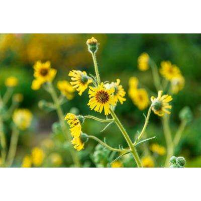 Madia Flower, Yellow Flowers (50 Seed Packet)