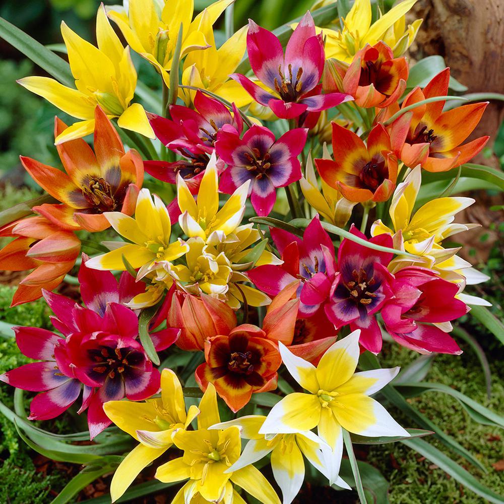Tulips Bulbs Perennial Mixture (Set of 100)