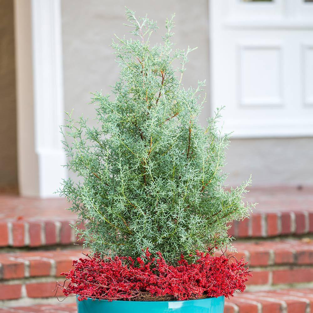 2 5 Qt Carolina Shire Cypress Live Evergreen Tree Light Blue Green Foliage