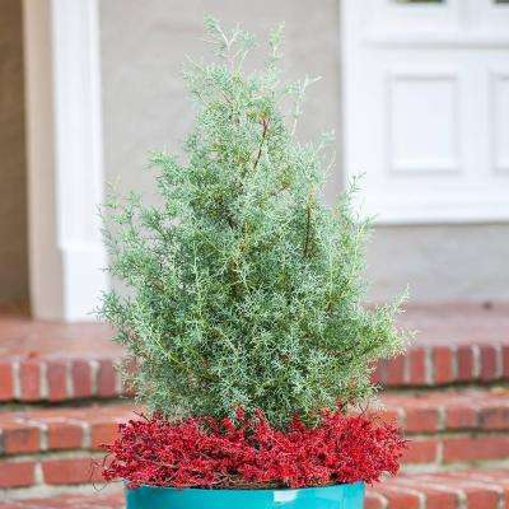 2.5 Qt. Carolina Sapphire Cypress, Live Evergreen Tree, Light Blue-Green Foliage