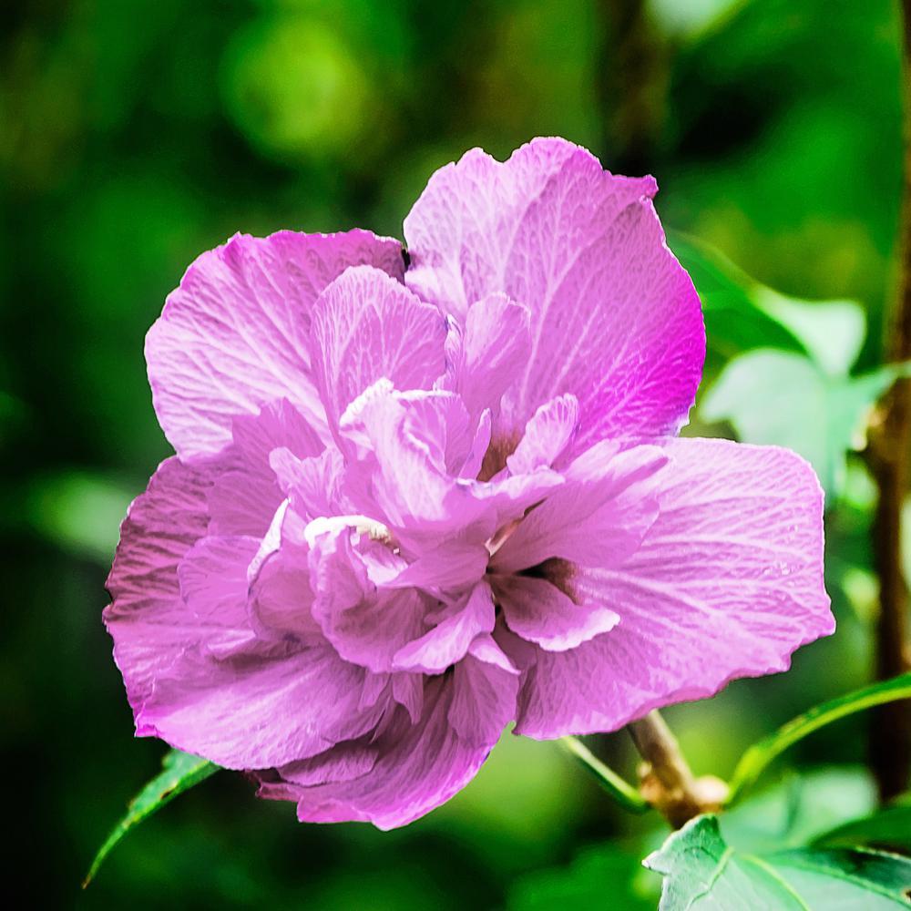 3 Gal. Double Purple Althea Shrub