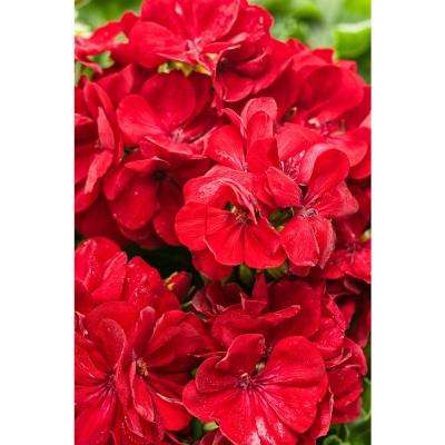 Boldly Dark Red Geranium (Pelargonium) Live Plant, Red Flowers, 4.25 in. Grande, 4-pack
