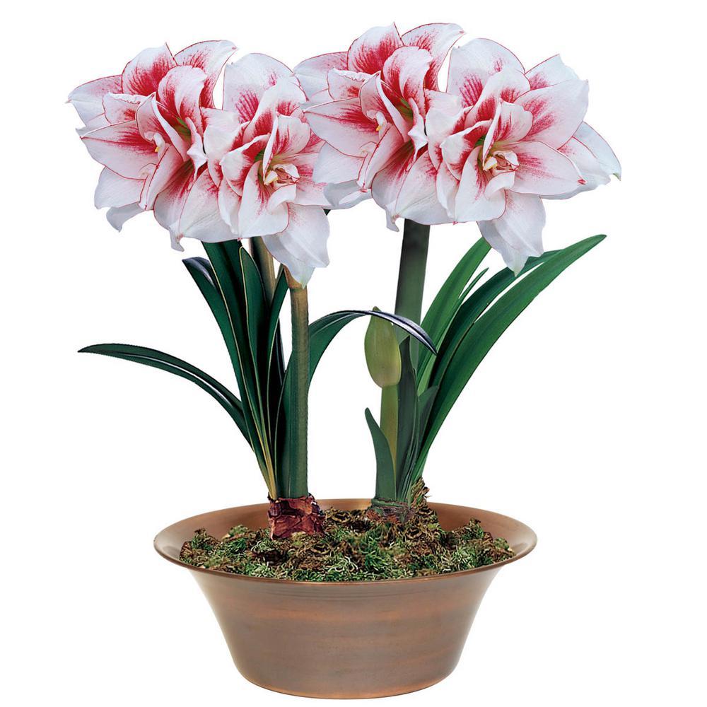Elvas Double Amaryllis (Hippeastrum) Bulbs (3-Pack)