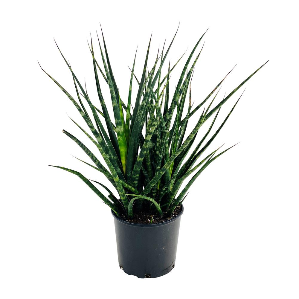 1.9 Gal. Sansevieria Fernwood Snake Plant in 9.25 In. Grower's Pot