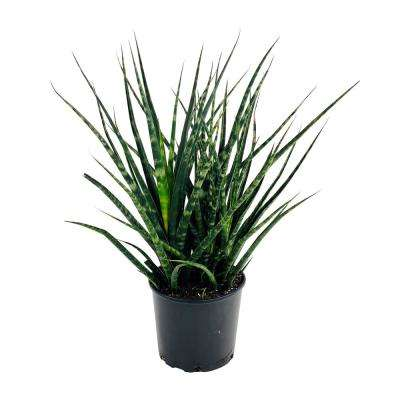 Sansevieria Fernwood Snake Plant in 9.25 In. Grower's Pot