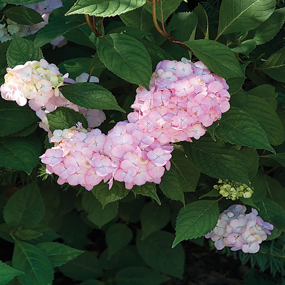 Hydrangea Plant Pink Flowers in 8 In. Grower's Pot
