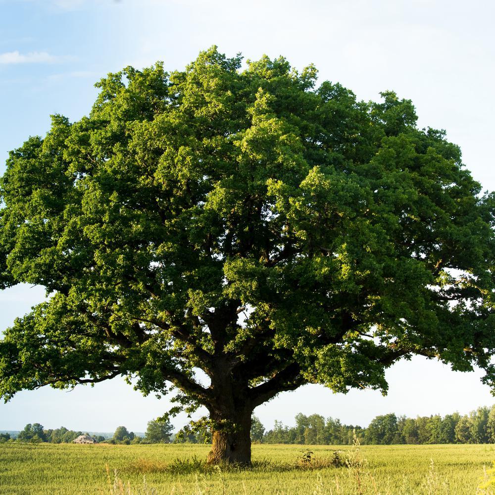 2 25 Gal Deciduous Swamp Chestnut Oak Tree Hd7090 The