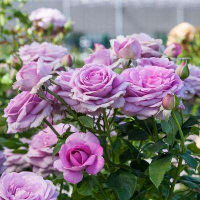 Violet's Pride Downton Abby 24 in. Tall Tree Rose, Live Bareroot Plant, Lavender Color Flowers (1-Pack)