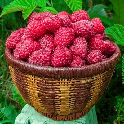 Mammoth Red Raspberry, Live Bareroot Plant, White Flowers to Red Berries (1-Pack)