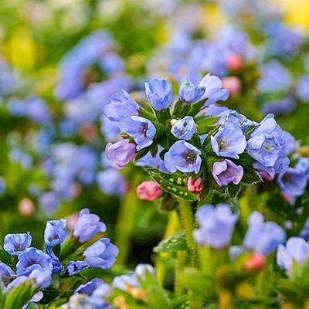 Deer resistant blue perennials garden plants flowers the pot twinkle toes lungwort pulmonaria live perennial plant sky mightylinksfo