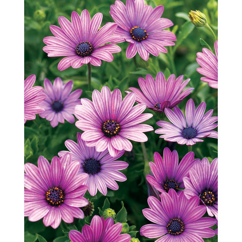 Soprano Purple (Osteospermum) Live Plant, Purple Flowers, 4.25 in. Grande, 4-pack