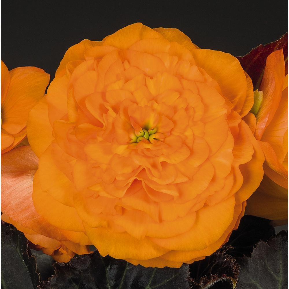 ProvenSelections Nonstop Mocca Bright Orange (Tuberous Begonia) Live Plant, Orange Flowers, 4.25 in. Grande, 4-pack
