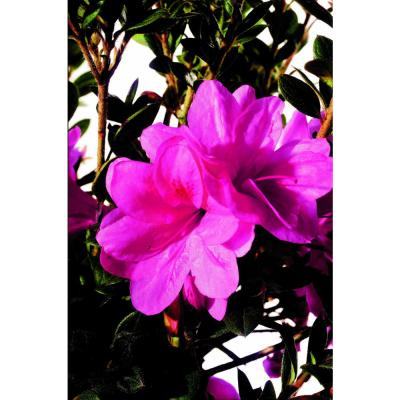 1 Gal. Autumn Empress Azalea Shrub with Semi-Double Pink Flowers