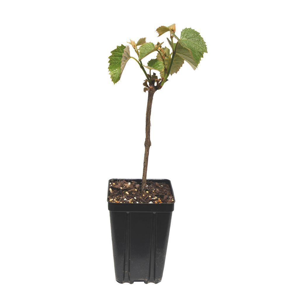 Sweet Berry Selections Concord Seedless Grape Fruit Bearing Potted Vine