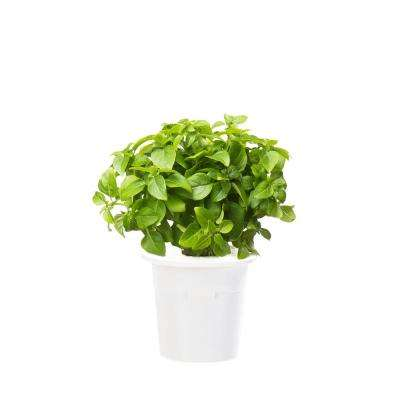 Dwarf Basil Refill (3-Pack) for Smart Herb Garden