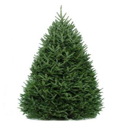 8-9 f. Freshly Cut Live Abies Fraser Fir Christmas Tree