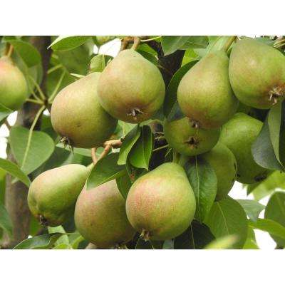 Dwarf Bartlett Pear Tree Bare Root