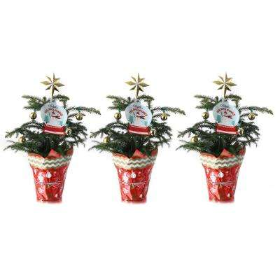 Fresh Norfolk Island Pine in 4 in. Grower Pot with Christmas Wrap and Topper (3-Pack)