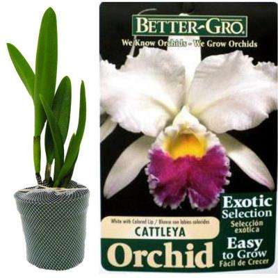 4 in. Blooming Size White with Red Lip Cattleya Packaged Orchid