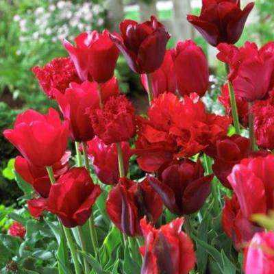 Red Tulips Non-Stop Red Blend Bulbs (25-Pack)