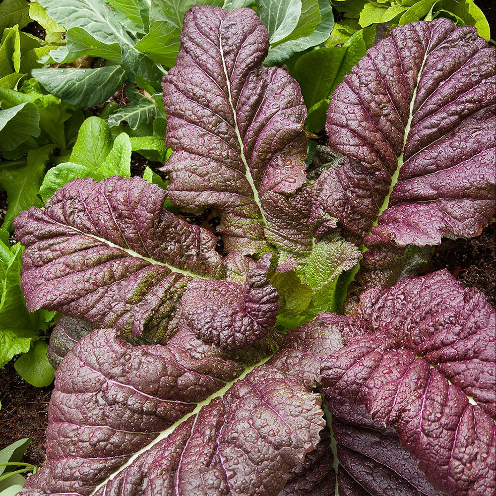 red giant mustard - 600×600