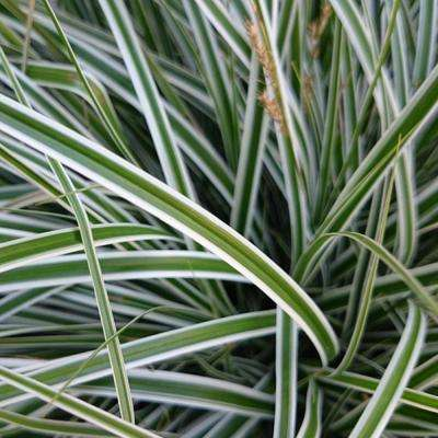 2.5 Qt. Evercolor Everest Carex, Live Evergreen Grass, White Striped Green Foliage