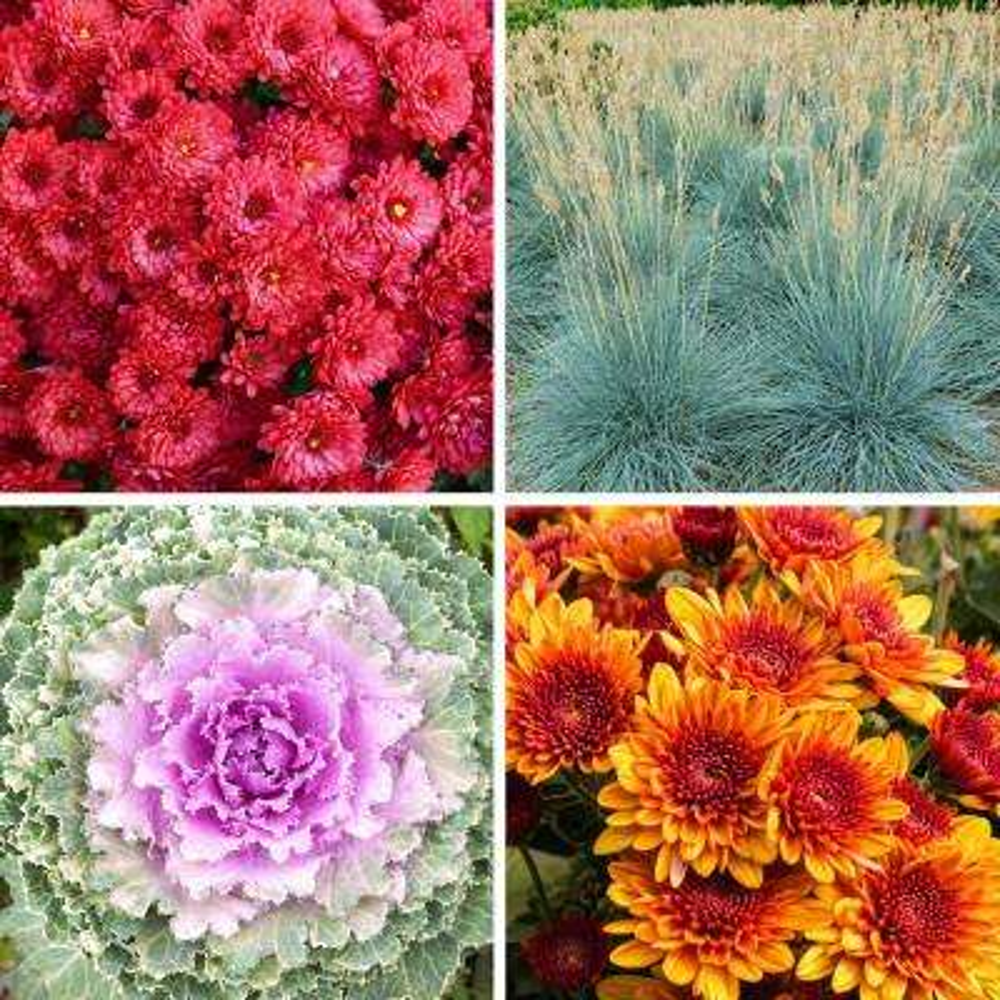 1 Qt. Autumn Fall Combo Kit Purple-Red-Bronze-White Blooms Mum-Flowering Kale-Fescue Plant (4-Pack)