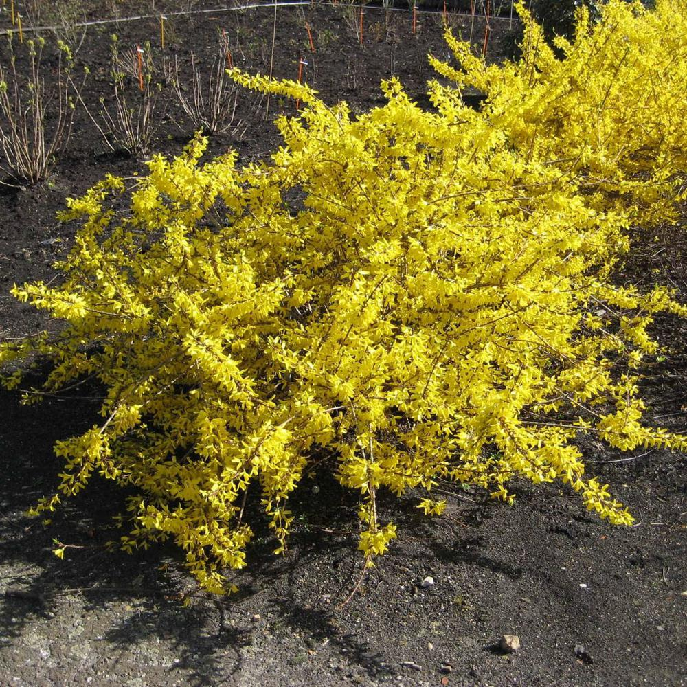 Spring Hill Nurseries 4 In Pot Magical Gold Forsythia Live Potted
