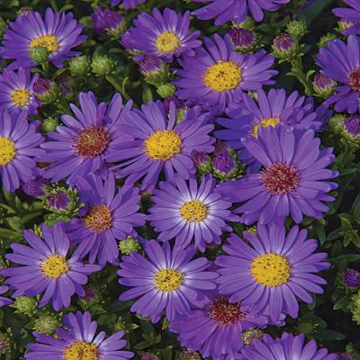 1 Gal. Believer Blue and Purple Aster Plant