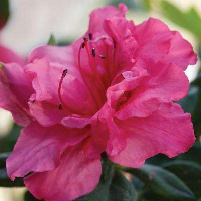3 Gal. Autumn Rouge - Pink Re-Blooming Compact Evergreen Shrub
