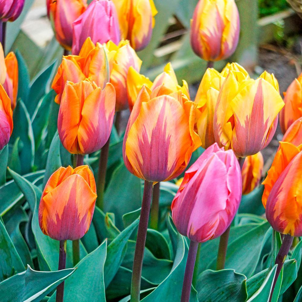 Princess Tulip Bulbs Mixture (20-Pack)