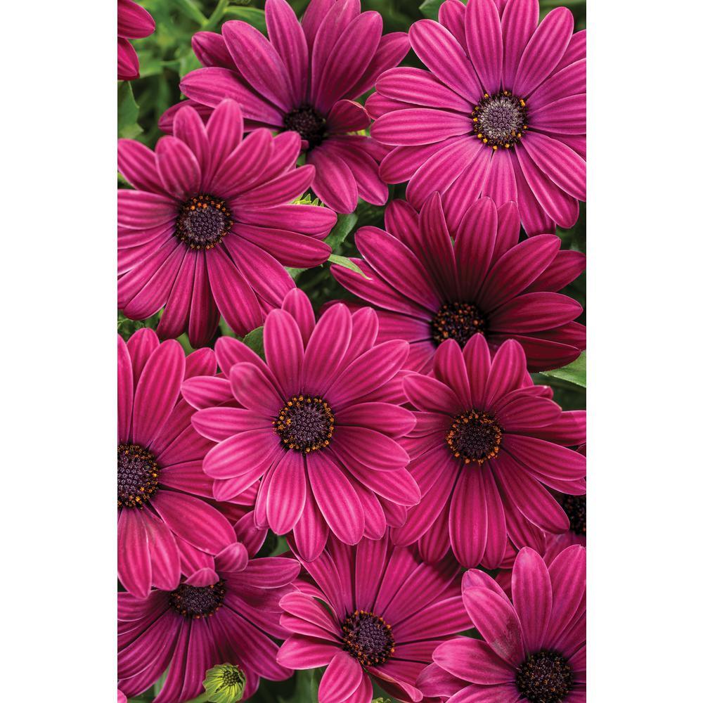 4-pack, 4.25 in. Grande Bright Lights Purple AfricanDaisy(Osteospermum) Live Plant, Purple Flowers