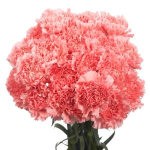 Fresh Pink Carnations (100 Stems)