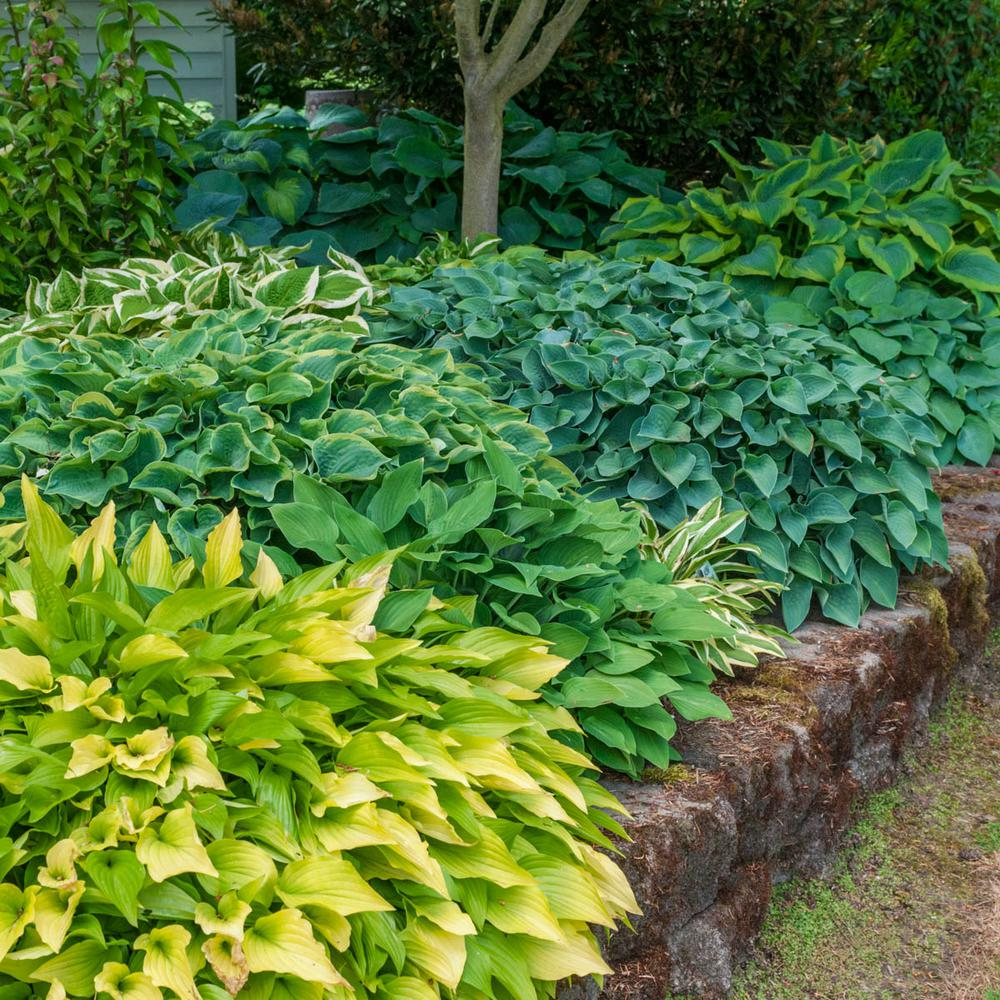 Spring Hill Nurseries Super Hosta Plant Mixture Live Bareroot Perennial Plants Multi Colored Foliage