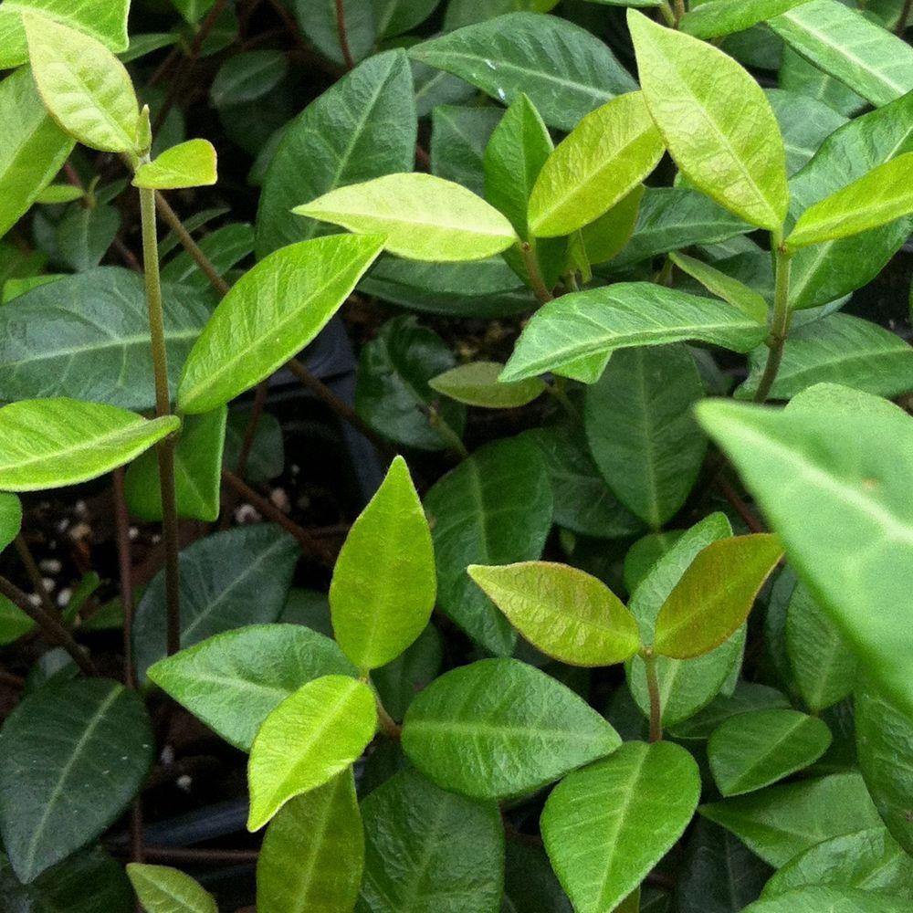 2.5 Qt. Asiatic Jasmine - Live Groundcover Plant