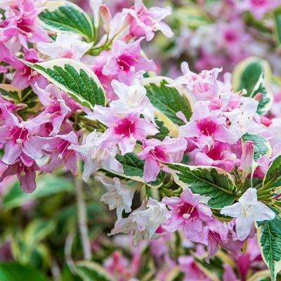 2.50 Qt. Pot Variegated Weigela, Live Deciduous Plant, Pink Flowers and Variegard Foliage Shrub (1-Pack)