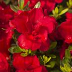 2 Gal. Autumn Bonfire Encore Azalea Shrub with Clear Red Reblooming Flowers