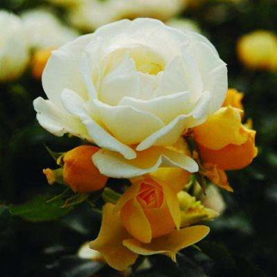 1 Gal. Popcorn Rose - Live Re-Blooming Groundcover Shrub