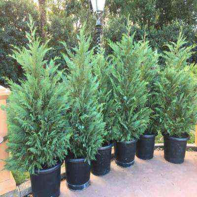 3 Gal. Leyland Cypress Evergreen Shrub