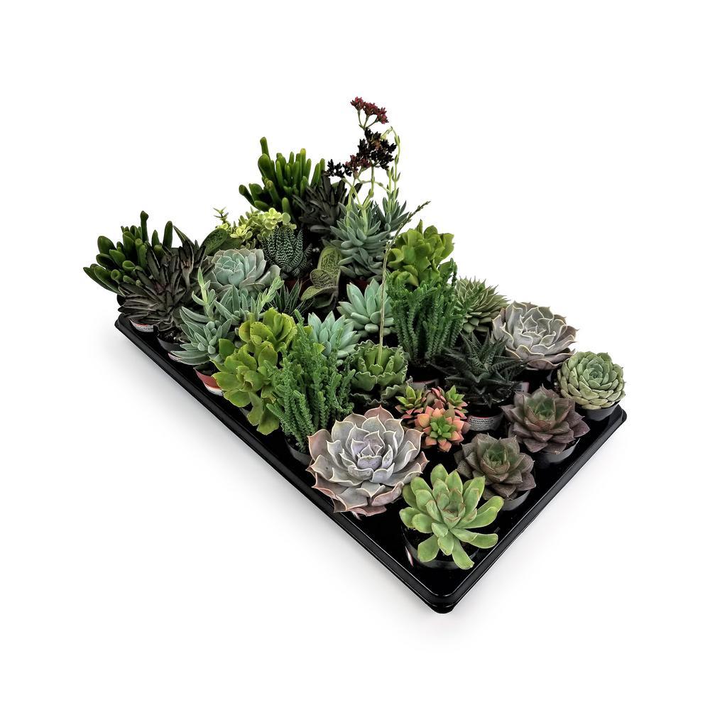 2.5 in. Succulent Mix (28-Plants)
