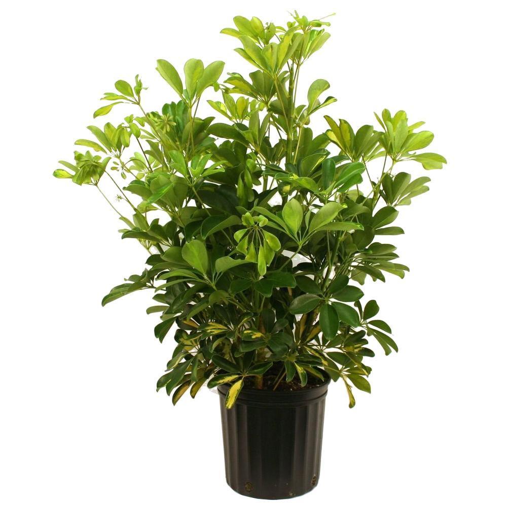 Schefflera Capella Bush in 8.75 in. Grower Pot