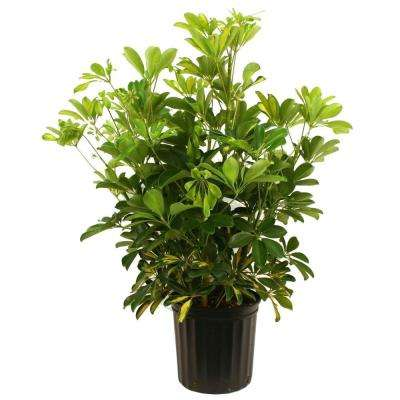 Schefflera Capella Bush in 8-3/4 in. Pot